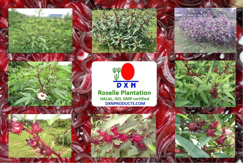 Good Manufacture Process and HALAL are the few of the certificates of DXN Berhad and also its Roselle plantation.