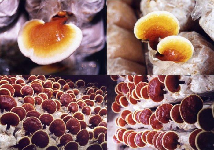 Growing Ganoderma fungi at DXN farm in Malaysia