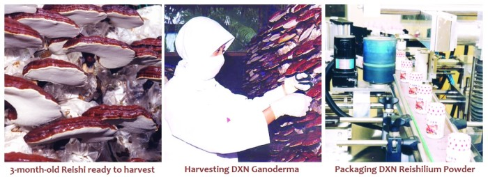 Harvesting 3-month-old Ganoderma and packaging DXN Reishilium Powder.