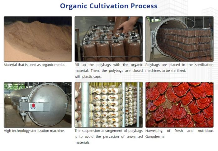 Steps of organic cultivation of Reishi at DXN Malaysia medicinal mushroom farm