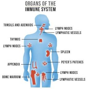 Ganoderma medicinal mushroom strengthens the organs of the immune system