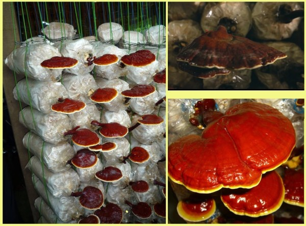 The ingredient of DXN Reishi Gano capsules: Lingzhi medicinal mushroom.