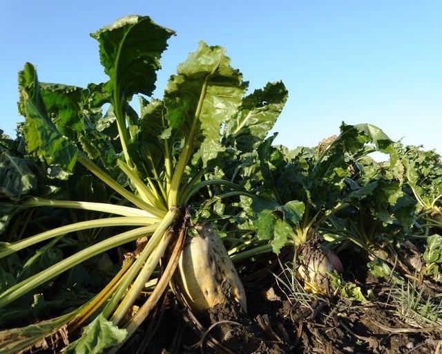 Sugar beet is the source of crystal sugar.