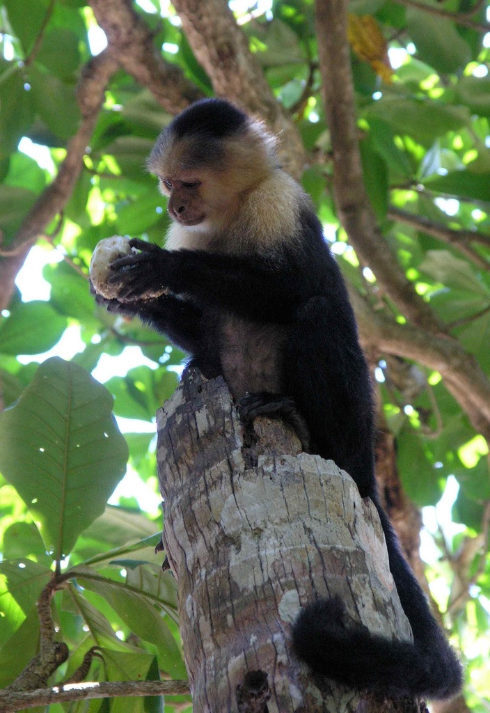 White-headed Capuchin monkey eating wild noni fruit