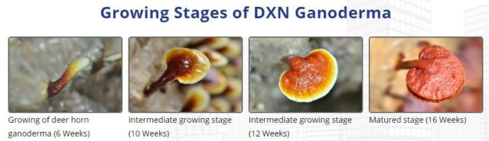 Growing stages of Ganoderma lucidum in DXN Lingzhi farm, Malaysia