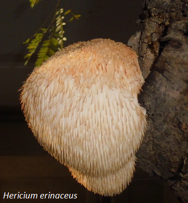 Hericium erinaceus fungus is the raw material of DXN Lion's Mane medicinal mushroom tablets.