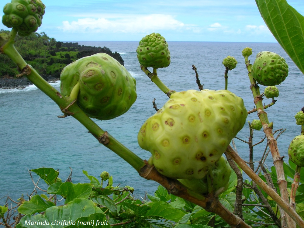 Noni fruit, ancient ingredient for healing of aboriginals living in the Frech Polynesian archipelago.