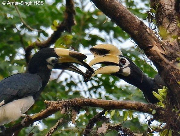 Oriental Pied Hornbill courtship feeding Morinda citrifolia (noni) fruit