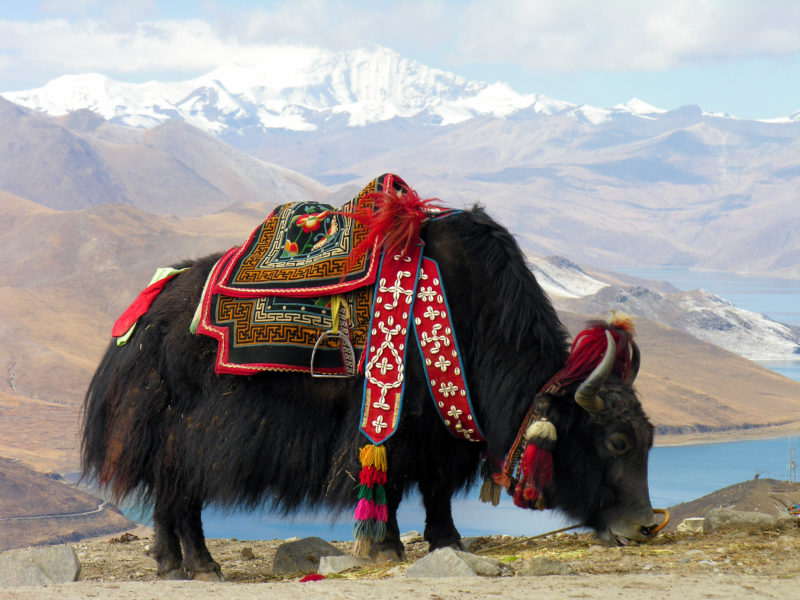 Yak herders found out that Cordyceps gave stamina to the animals